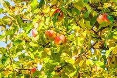 Φρούτα της Apple σε ένα δέντρο Στοκ φωτογραφία με δικαίωμα ελεύθερης χρήσης