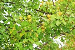 Φρούτα της Apple στον κλάδο Στοκ φωτογραφίες με δικαίωμα ελεύθερης χρήσης