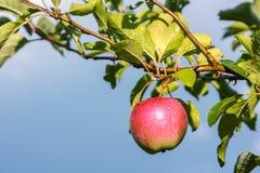 Φρούτα της Apple στον κλάδο Στοκ εικόνες με δικαίωμα ελεύθερης χρήσης