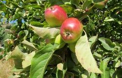 Φρούτα της Apple στο δέντρο Στοκ Εικόνα