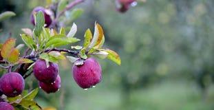 Φρούτα της Apple τον Οκτώβριο έτοιμα για τη συγκομιδή στον οπωρώνα Στοκ εικόνα με δικαίωμα ελεύθερης χρήσης
