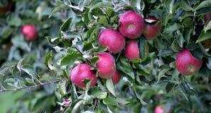 Φρούτα της Apple τον Οκτώβριο έτοιμα για τη συγκομιδή στον οπωρώνα Στοκ Εικόνες