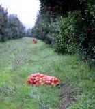 Φρούτα της Apple τον Οκτώβριο έτοιμα για τη συγκομιδή στον οπωρώνα Στοκ εικόνες με δικαίωμα ελεύθερης χρήσης