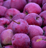 Φρούτα της Apple τον Οκτώβριο έτοιμα για τη συγκομιδή στον οπωρώνα Στοκ Φωτογραφία
