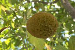 Φρούτα του δέντρου jakfruit Στοκ φωτογραφία με δικαίωμα ελεύθερης χρήσης