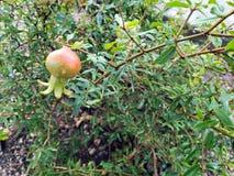 Φρούτα του νάνου ροδιού στοκ φωτογραφίες