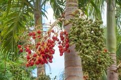 Φρούτα του φοίνικα Χριστουγέννων ή του φοίνικα της Μανίλα Στοκ εικόνα με δικαίωμα ελεύθερης χρήσης