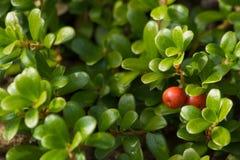 Φρούτα του Bearberry arctostaphylos uva-ursi Στοκ Φωτογραφίες