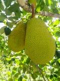 Φρούτα του Jack στο δέντρο Στοκ εικόνες με δικαίωμα ελεύθερης χρήσης