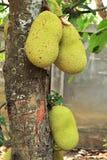 Φρούτα του Jack Στοκ Φωτογραφίες