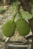 Φρούτα του Jack Στοκ εικόνες με δικαίωμα ελεύθερης χρήσης