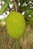 Φρούτα του Jack Στοκ Φωτογραφία