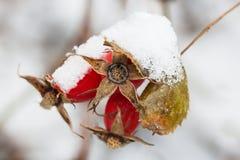 Φρούτα των άγριων κόκκινων ροδαλών ισχίων μούρων που καλύπτονται από το χιόνι αφηρημένος χειμώνας ανασκόπησης Χριστούγεννα θέματο Στοκ εικόνα με δικαίωμα ελεύθερης χρήσης