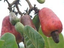 Φρούτα των δυτικών ανακαρδίων στοκ εικόνα