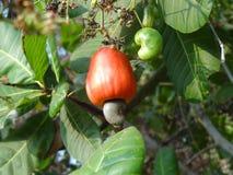 Φρούτα των δυτικών ανακαρδίων στοκ φωτογραφία
