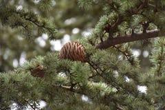 Φρούτα φθινοπώρου - pincone Στοκ εικόνες με δικαίωμα ελεύθερης χρήσης