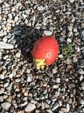 Φρούτα φοίνικας Areca του φοίνικα catechu ή Areca ή του ινδικών καρυδιού ή των φοινικών ή Betel Pinang Στοκ Εικόνες