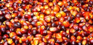 Φρούτα φοινικέλαιου στοκ εικόνα με δικαίωμα ελεύθερης χρήσης