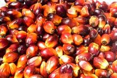Φρούτα φοινικέλαιου Στοκ Εικόνες