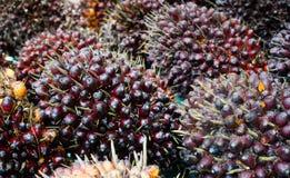 Φρούτα φοινικέλαιου στοκ εικόνα