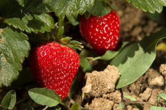Φρούτα φραουλών στον κλάδο Στοκ εικόνες με δικαίωμα ελεύθερης χρήσης