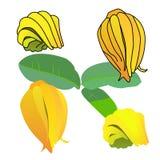 Φρούτα χεριών του Βούδα διανυσματική απεικόνιση