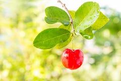 Φρούτα Acerola Στοκ φωτογραφία με δικαίωμα ελεύθερης χρήσης