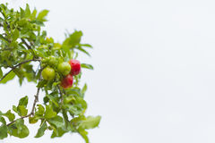 Φρούτα Acerola Στοκ Φωτογραφία