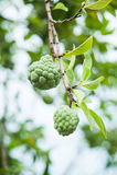 Φρούτα Annona Στοκ Εικόνες