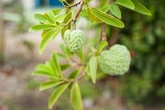 Φρούτα Annona Στοκ εικόνες με δικαίωμα ελεύθερης χρήσης