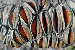 Φρούτα Banksia (λοβός σπόρου) στενό σε επάνω Στοκ Φωτογραφίες