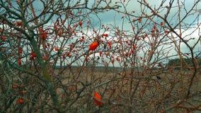 Φρούτα Briar, άγριος θάμνος ροδαλών ισχίων στη φύση Στοκ Φωτογραφίες