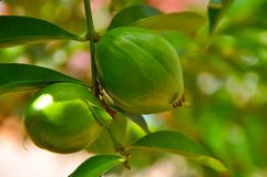 Φρούτα Dewa Mahkota Στοκ Εικόνες