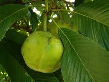 Φρούτα Dillenia Στοκ εικόνες με δικαίωμα ελεύθερης χρήσης