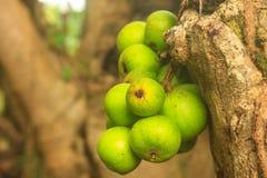Φρούτα Ficus στο δέντρο Στοκ Φωτογραφίες