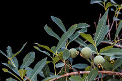 Φρούτα Guavira (Campomanesia pubescens) Στοκ Φωτογραφία