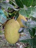 Φρούτα Jackfruit Στοκ Φωτογραφία