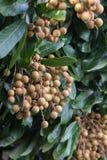 Φρούτα Longan στη βόρεια Ταϊλάνδη στοκ εικόνα με δικαίωμα ελεύθερης χρήσης