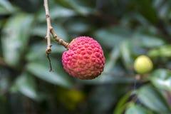 Φρούτα Lychee, τύπος bedana στο ranisonkoil, thakurgoan, Μπανγκλαντές Στοκ Φωτογραφίες