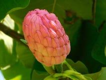 Φρούτα Magnolia Στοκ Εικόνες