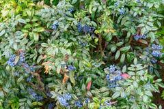 Φρούτα Magonia στο θάμνο στοκ φωτογραφία με δικαίωμα ελεύθερης χρήσης