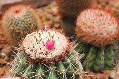Φρούτα Melocactus Στοκ εικόνες με δικαίωμα ελεύθερης χρήσης