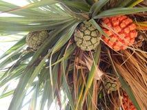 Φρούτα Pandan Στοκ εικόνα με δικαίωμα ελεύθερης χρήσης