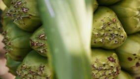 Φρούτα Pandanus απόθεμα βίντεο