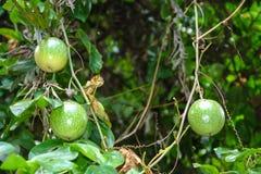 Φρούτα Passionflower Στοκ Εικόνες