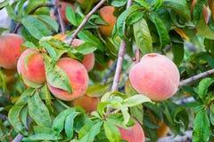 Φρούτα Peech στο δέντρο Στοκ εικόνες με δικαίωμα ελεύθερης χρήσης