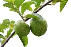 Φρούτα reticulata Annona Στοκ Εικόνες