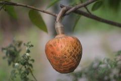 Φρούτα reticulata Annona Στοκ φωτογραφία με δικαίωμα ελεύθερης χρήσης