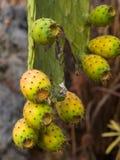 Φρούτα Riping στο τραχύ αχλάδι ή Opuntia ficus-Indica στην άγρια κινηματογράφηση σε πρώτο πλάνο, εκλεκτική εστίαση, ρηχό DOF Στοκ Εικόνα