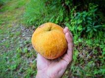 Φρούτα Santol διαθέσιμα Στοκ φωτογραφία με δικαίωμα ελεύθερης χρήσης